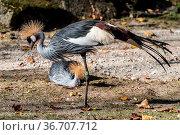 The Black Crowned Crane, Balearica pavonina is a bird in the crane... Стоковое фото, фотограф Zoonar.com/Rudolf Ernst / easy Fotostock / Фотобанк Лори