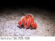 A Coenobita perlatus, the so called Strawberry Hermit Crab on Lady... Стоковое фото, фотограф Zoonar.com/Oliver Förstner / easy Fotostock / Фотобанк Лори