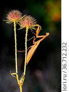 Creepy-looking brown european mantis, mantis religiosa, holding on... Стоковое фото, фотограф Zoonar.com/Jakub Mrocek / easy Fotostock / Фотобанк Лори