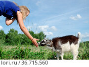 Girl feed goatling scratch his snout chuck. Стоковое фото, фотограф Zoonar.com/Saulius Balbierius / age Fotostock / Фотобанк Лори