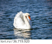 Sibilant swan is large waterfowl that swims beautifully on the water. Стоковое фото, фотограф Олег Елагин / Фотобанк Лори