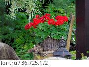 Rote Geranien im Korb, Storchschnäbel (Geranium) Geranien. Стоковое фото, фотограф Zoonar.com/Bildagentur Geduldig / easy Fotostock / Фотобанк Лори