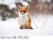 Calm red fox, vulpes vulpes, sitting on snow in wintertime nature... Стоковое фото, фотограф Zoonar.com/Jakub Mrocek / easy Fotostock / Фотобанк Лори