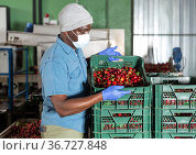 African american man in protective mask working on sorting line, carrying a box with cherry in storage. Стоковое фото, фотограф Яков Филимонов / Фотобанк Лори