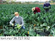 Man in protective mask harvesting broccoli in farm field. Стоковое фото, фотограф Яков Филимонов / Фотобанк Лори