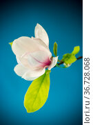 one pink flower on a branch of blooming magnolia close up. Стоковое фото, фотограф Peredniankina / Фотобанк Лори