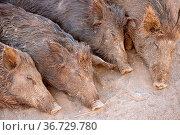 Four sleeping in the sand wild boar in the park or farm. Стоковое фото, фотограф Zoonar.com/Iulianna Est / easy Fotostock / Фотобанк Лори
