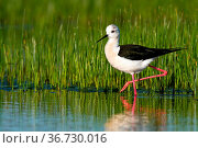 Elegant black-winged stilt, himantopus himantopus walking in wetland... Стоковое фото, фотограф Zoonar.com/Jakub Mrocek / easy Fotostock / Фотобанк Лори