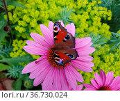 Tagpfauenauge, Inachis, io, Roter Sonnenhut, Echinacea, purpurea. Стоковое фото, фотограф Zoonar.com/Manfred Ruckszio / easy Fotostock / Фотобанк Лори