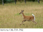 A white tailed deer runs in a field near Hauser, Idaho. Стоковое фото, фотограф Zoonar.com/Gregory Johnston Photography / easy Fotostock / Фотобанк Лори