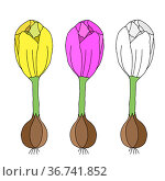 Colored Vector illustration of a group of complete crocus flowers with onions and roots isolated on a white background. Стоковая иллюстрация, иллюстратор Татьяна Куклина / Фотобанк Лори