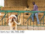 Young african american man farmer working with hay before feeding cows. Стоковое фото, фотограф Яков Филимонов / Фотобанк Лори