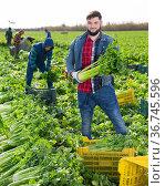 Young successful farmer with celery harvest. Стоковое фото, фотограф Яков Филимонов / Фотобанк Лори