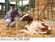Young african american man farmer feeding cows with hay. Стоковое фото, фотограф Яков Филимонов / Фотобанк Лори