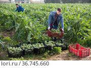Worker carrying crates with artichokes. Стоковое фото, фотограф Яков Филимонов / Фотобанк Лори