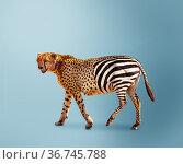 Half cheetah partially zebra predator vs herbivore. Стоковое фото, фотограф Сергей Новиков / Фотобанк Лори