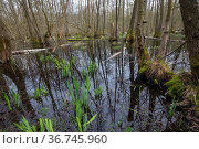 Flooded Common alder (Alnus glutinosa) forest between Forstfeld and Hatten, Alsace, France. Стоковое фото, фотограф Sylvain Cordier / Nature Picture Library / Фотобанк Лори