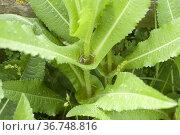 Wild teasel or fuller's teasel (Dipsacus fullonum) is a biennial ... Стоковое фото, фотограф J M Barres / age Fotostock / Фотобанк Лори