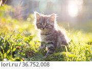 little fluffy kitten. Стоковое фото, фотограф Типляшина Евгения / Фотобанк Лори