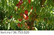 ripe fig peaches hanging on a tree branch. Close-up image. Стоковое видео, видеограф Яков Филимонов / Фотобанк Лори