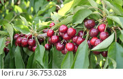 Image of a cherry cluster on a branch in the garden. Стоковое видео, видеограф Яков Филимонов / Фотобанк Лори