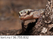 Robust velvet gecko (Nebulifera robusta) peering round trunk in tree, in late afternoon, normally noctural, Inglewood, Queensland, Australia. Стоковое фото, фотограф Bruce Thomson / Nature Picture Library / Фотобанк Лори