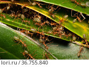 Green tree ants (Oecophylla smaragdina) defending their leafy nest in a low shrub, Cooktown, Queensland, Australia. Стоковое фото, фотограф Bruce Thomson / Nature Picture Library / Фотобанк Лори