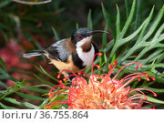 Eastern spinebill (Acanthorhynchus tenuirostris) male visiting Grevillea flower, small honeyeater found in forests, woodlands and gardens in Eastern Australia, Toowoomba, Queensland, Australia. Стоковое фото, фотограф Bruce Thomson / Nature Picture Library / Фотобанк Лори