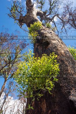 Forest red gum (Eucalyptus tereticornis) regenerative response after fire known as epicormic budding, Stanthorpe, Queensland, Australia. Low angle view.