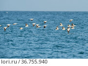 Pied imperial / Torresian pigeon (Ducula bicolor) flock on long daily commute over the sea from the mainland to breeding grounds in mangroves off Great... Стоковое фото, фотограф Bruce Thomson / Nature Picture Library / Фотобанк Лори