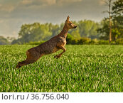RF - Roe Deer (Capreolus capreolus) doe leaping, UK, May. (This image may be licensed either as rights managed or royalty free.). Стоковое фото, фотограф Andy Rouse / Nature Picture Library / Фотобанк Лори