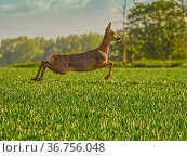 Roe Deer (Capreolus capreolus) doe leaping, UK. May. Стоковое фото, фотограф Andy Rouse / Nature Picture Library / Фотобанк Лори