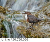 RF - Dipper (Cinclus cinclus) perched on rock in river with food in bill, Wales, UK, May. (This image may be licensed either as rights managed or royalty free.). Стоковое фото, фотограф Andy Rouse / Nature Picture Library / Фотобанк Лори