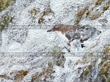 Dipper (Cinclus cinclus) on rocks in waterfall, Wales. May.
