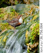 Dipper (Cinclus cinclus) on rocks in river, Wales, UK. Стоковое фото, фотограф Andy Rouse / Nature Picture Library / Фотобанк Лори