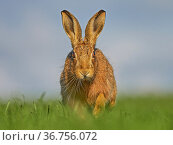 European Hare (Lepus europaeus) walking through grass in morning light, UK. Стоковое фото, фотограф Andy Rouse / Nature Picture Library / Фотобанк Лори