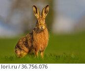 RF - European Hare (Lepus europaeus) in morning light, UK. (This image may be licensed either as rights managed or royalty free.) Стоковое фото, фотограф Andy Rouse / Nature Picture Library / Фотобанк Лори