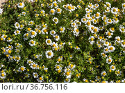 Background. The white wildflowers medicinal chamomile (Matricaria chamomilla) in a meadow. Стоковое фото, фотограф Татьяна Ляпи / Фотобанк Лори