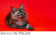 Cute black smoke American Longhair Maine Coon kitten lies on red background, stretching out its paw. Стоковое фото, фотограф А. А. Пирагис / Фотобанк Лори
