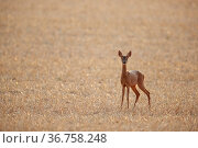 Roe deer (Capreolus capreolus) female in a stubble field, Yonne, Burgundy, France  August. Стоковое фото, фотограф Cyril Ruoso / Nature Picture Library / Фотобанк Лори