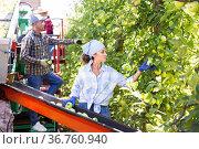 Woman harvesting apples in plantation. Стоковое фото, фотограф Яков Филимонов / Фотобанк Лори