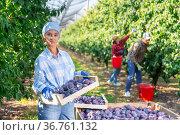 Woman with box full of plums standing in plantation. Стоковое фото, фотограф Яков Филимонов / Фотобанк Лори