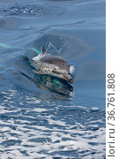 Common dolphin (Delphinus delphis) surfacing at speed offshore, California, USA, Pacific Ocean. Стоковое фото, фотограф Brandon Cole / Nature Picture Library / Фотобанк Лори