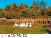 White geese in the yard, household farm. Стоковое фото, фотограф Zoonar.com/NadyZima_klgd / easy Fotostock / Фотобанк Лори