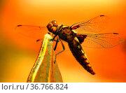 Libellula depressa - Plattbauchlibelle weiblich. Стоковое фото, фотограф Zoonar.com/H Landshoeft / easy Fotostock / Фотобанк Лори