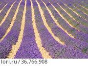 Lavendelfeld - lavender field 01. Стоковое фото, фотограф Zoonar.com/Liane Matrisch / easy Fotostock / Фотобанк Лори
