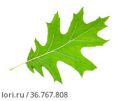 Back side of green leaf of red oak tree isolated on white background. Стоковое фото, фотограф Zoonar.com/Valery Voennyy / easy Fotostock / Фотобанк Лори