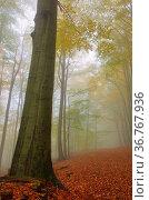 Buchenwald im Nebel - beech forest in fog 07. Стоковое фото, фотограф Zoonar.com/LIANEM / easy Fotostock / Фотобанк Лори