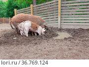 Pigs digging in outdoor enclosure at farm. Стоковое фото, фотограф Zoonar.com/Juhani Viitanen / easy Fotostock / Фотобанк Лори