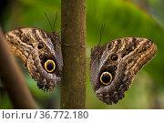 Bananenfalter (Caligo eurilochus)| forest giant owl. Стоковое фото, фотограф Zoonar.com/Günter Lenz / age Fotostock / Фотобанк Лори